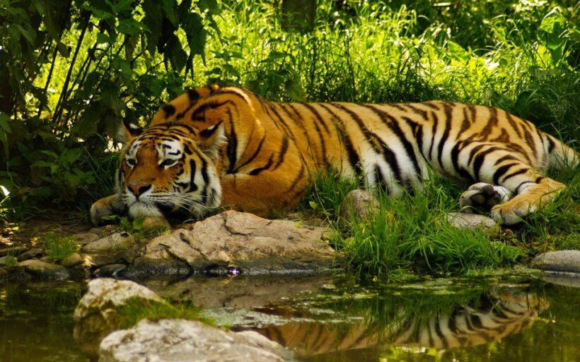 Royal-bengal-tiger 01