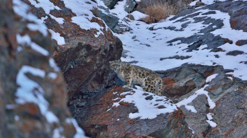 Snow Leopard 01