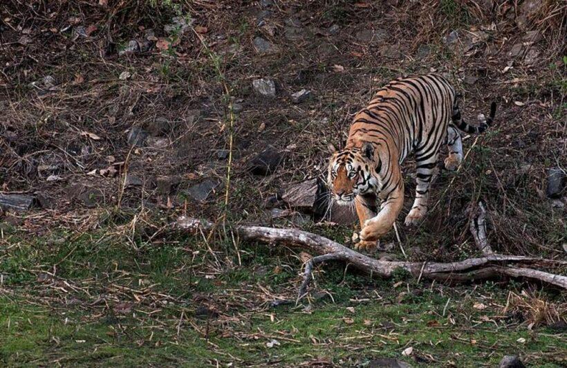 Tiger 03