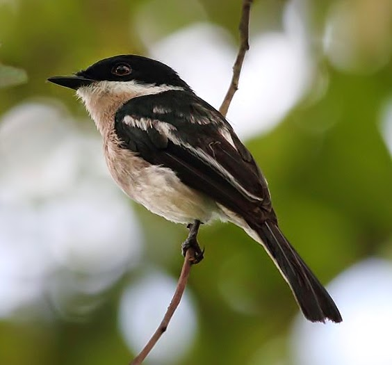 Bar-winged flycatcher-shrike bird