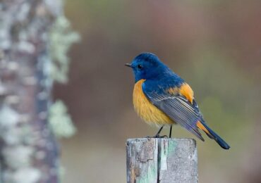 Blue-fronted Redstarts