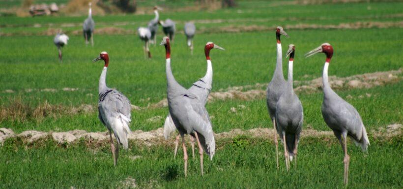Chambal_Sarus-Cranes-Jeep-Safari