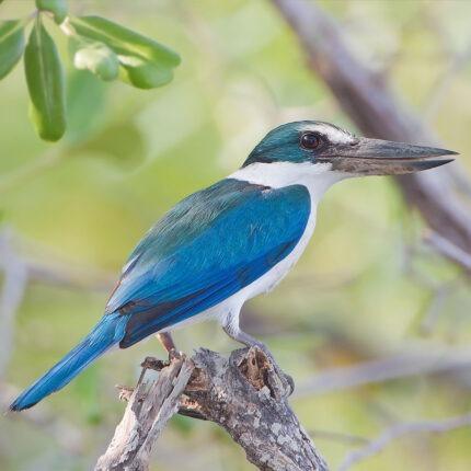 Collared Kingfisher, Andamans