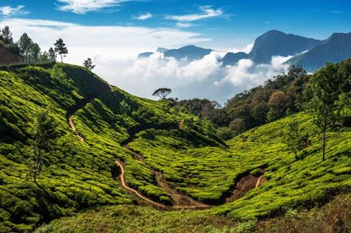 Darjeeling Tea 02