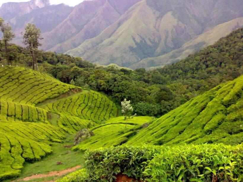 Munnar Tea Tour 01