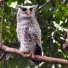 Spot-bellied Eagle Owl