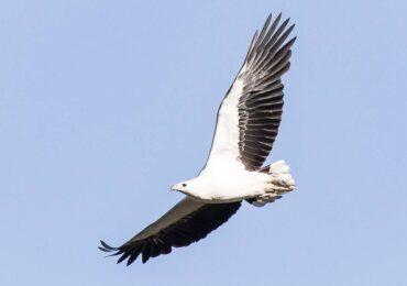 White-bellied Sea Eagle, Port Blair