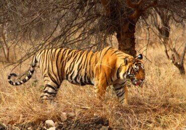Tigers in satpura hills