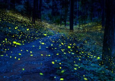 India's glowing forest